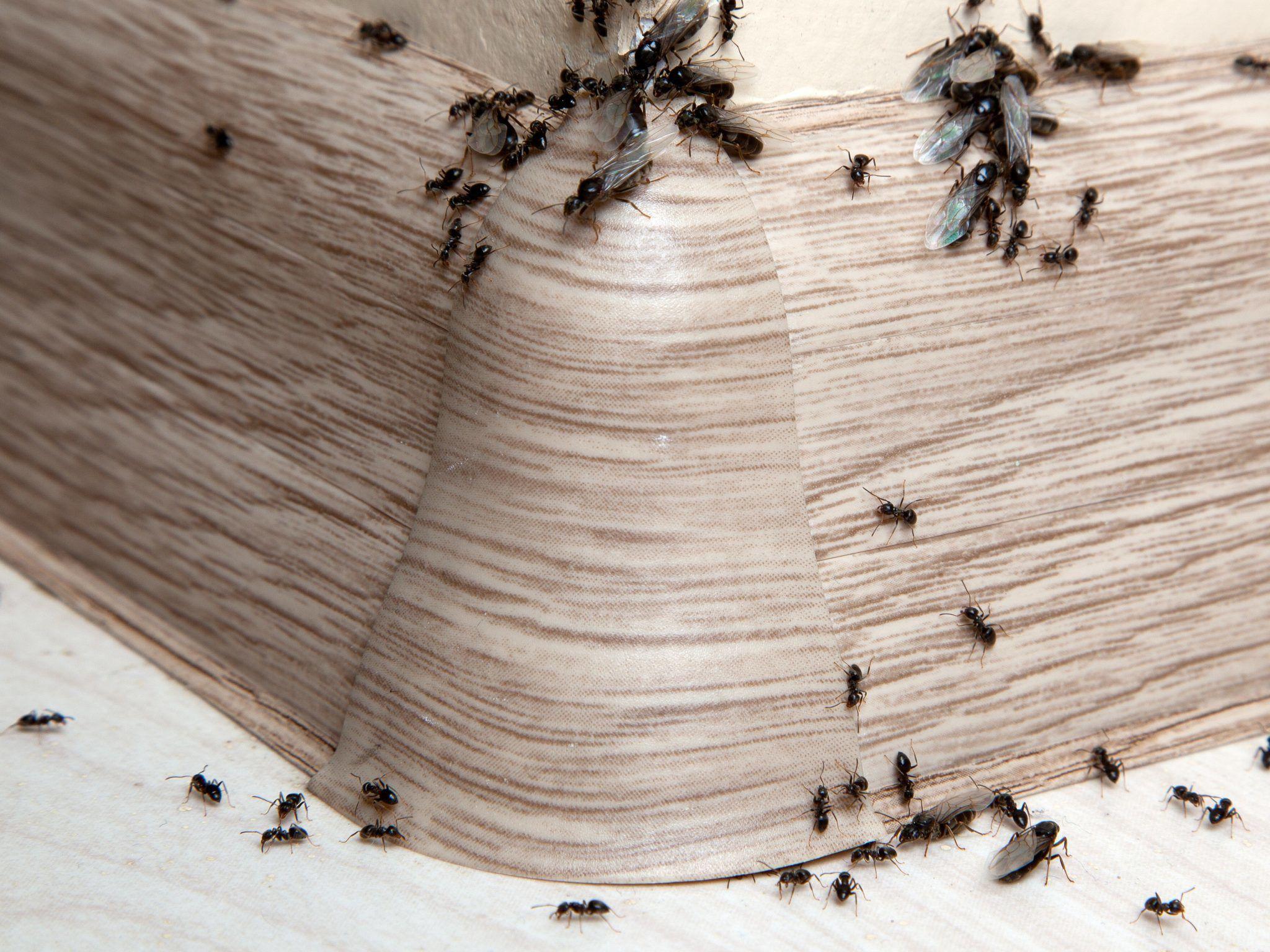 Kammerjäger Ameisen Lichtenfels