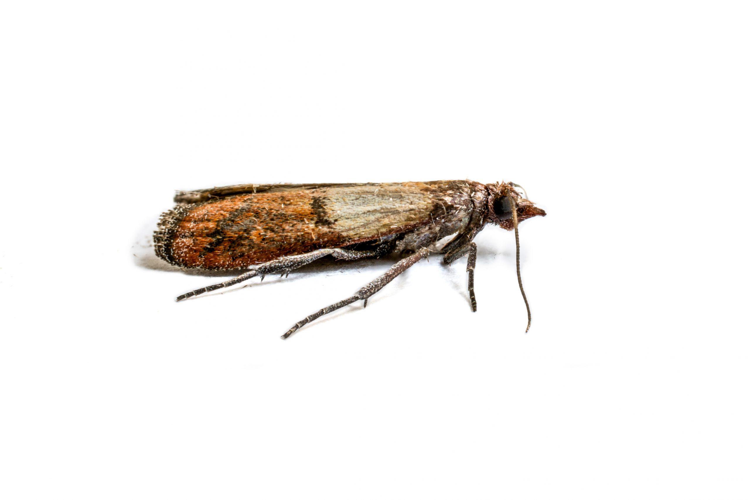 Motten nachhaltig bekämpfen - Apel Schädlingsbekämpfung