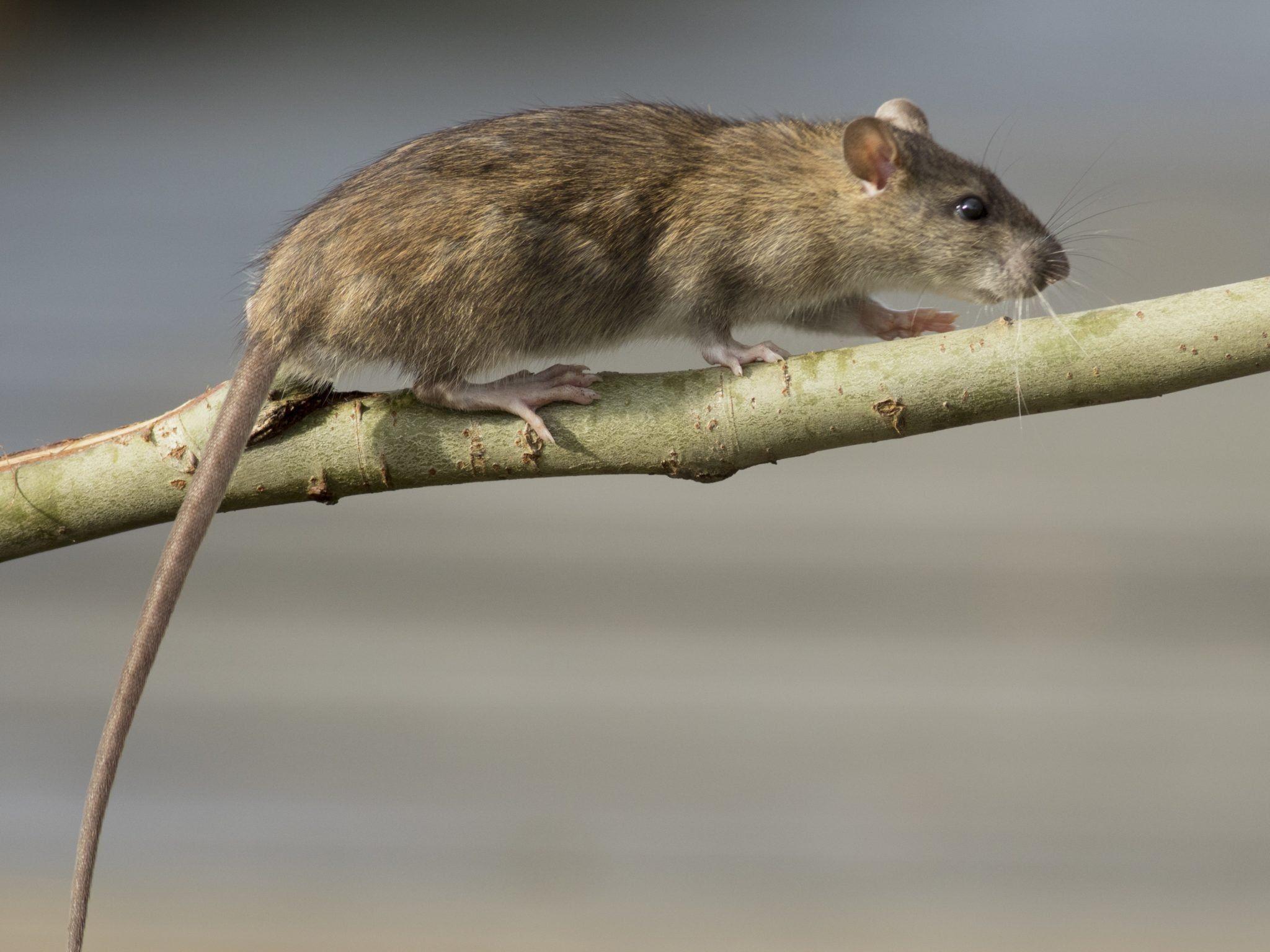 Kammerjäger Ratten Coburg