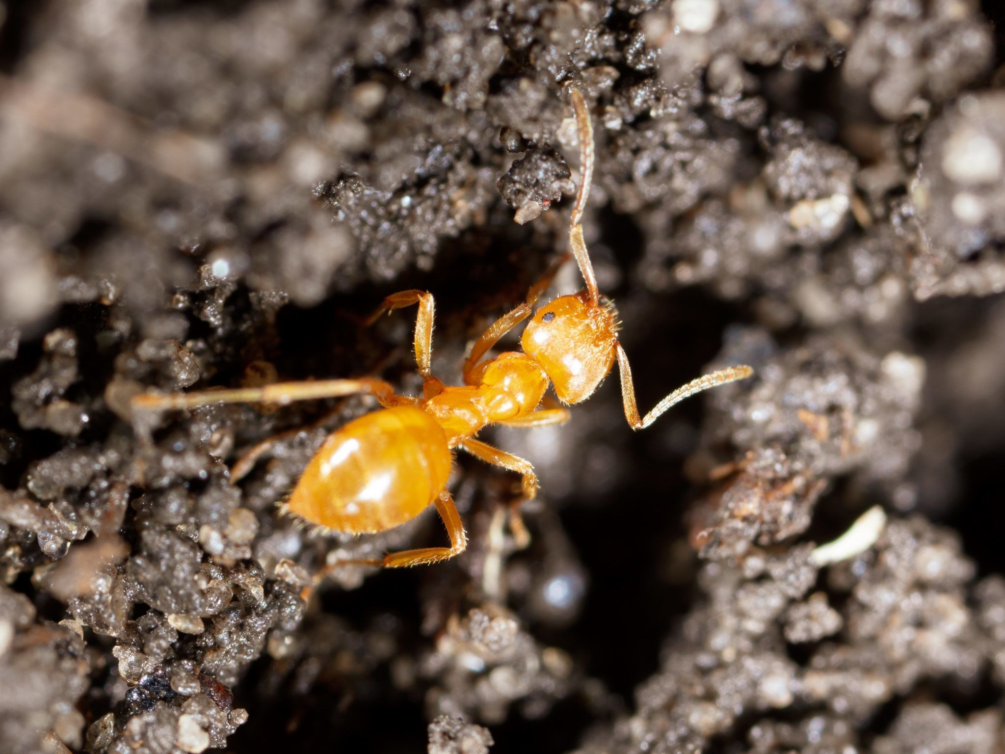 Pharao-Ameisen bekämpfen
