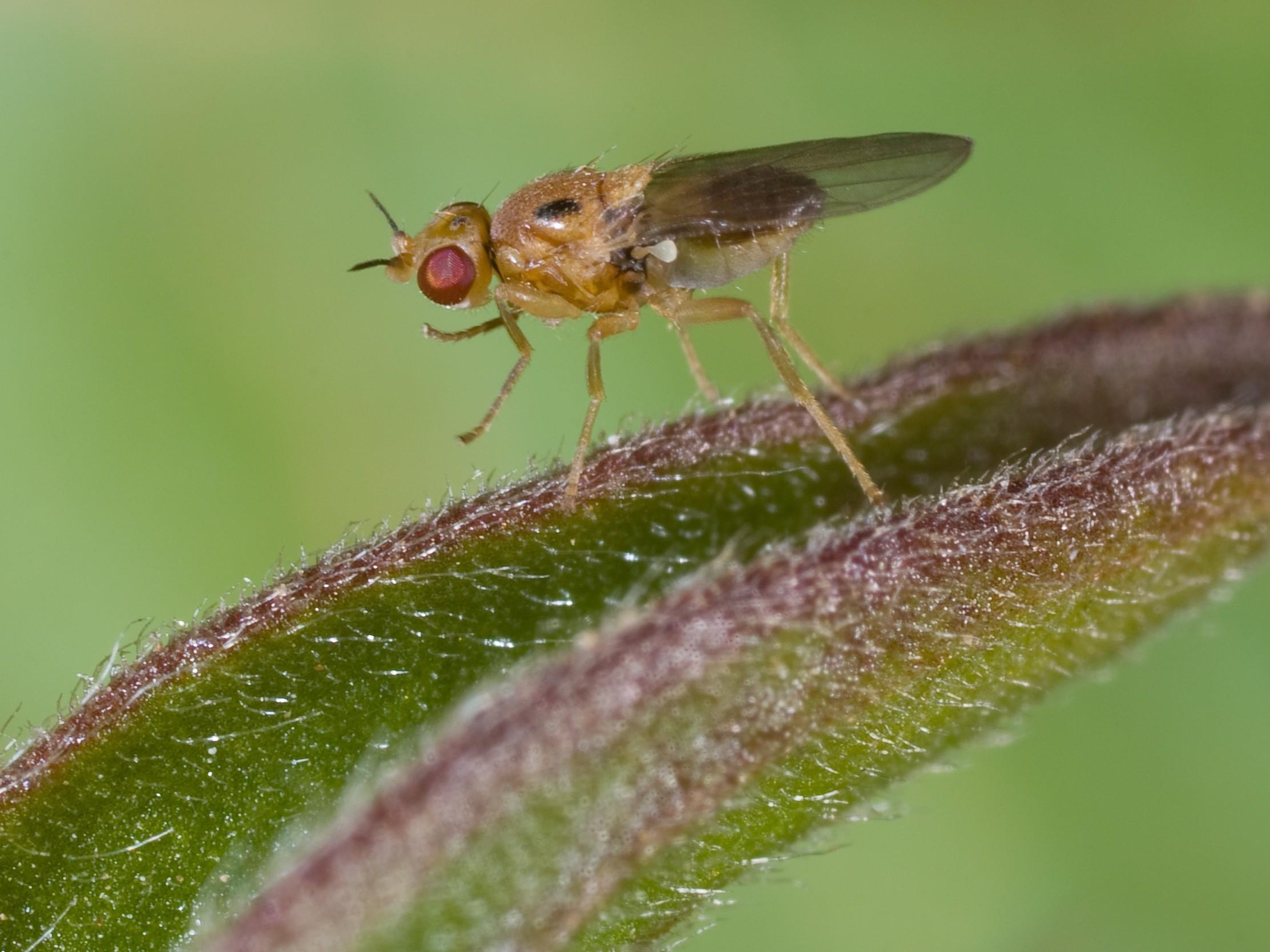 Halmfliegen bekämpfen